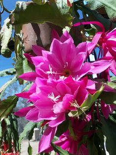 "The Epiphyllum Garden: June 2012 ""Grand Ovation"""