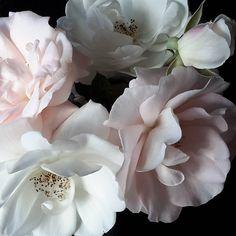 #icebergroses #bridalbouquetroses #gardenrosestudy #nio #itsamoodywednesday
