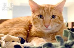 Meet a new addition to our  shelter, Bruce (547233). He's a lovable cat just looking for his #foreverhome this Valentine's Day. #meow #cat #adopt