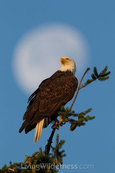 The nearly full moon hovers in the background as an adult Bald Eagle (Haliaeetus leucocephalus) watches over its nest in Kirkland, Washington. Photo by Kevin Ebi.