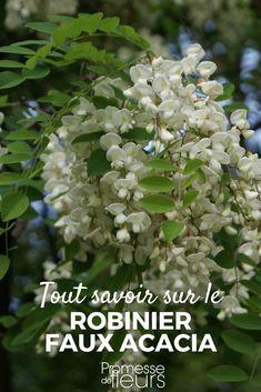 Robinier, faux acacia : planter, tailler, entretenir - Nos conseils #jardin #jardinage #arbre #arbuste #fleur #conseiljardin Plantation, Garden Projects, Shrubs, Herbalism, Green, Art Floral, Branches, Bouquets, Gardening