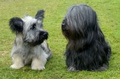 The Right Puppy Skye Terrier Club Terrier Dog Breeds, Terrier Puppies, Puppy Breeds, Terriers, Dog Lover Gifts, Dog Lovers, Skye Terrier, Dog List, Purebred Dogs