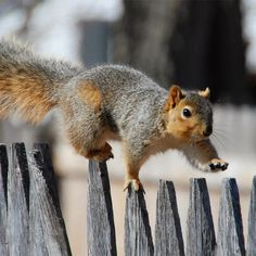 Squirrel Sprinting Across a Fence.