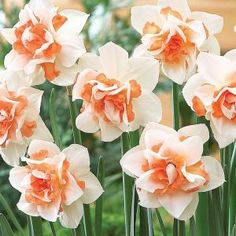 Martha Stewart Living, Narcissus Replete Dormant Bulbs (50-Pack), 70169 at The Home Depot - Mobile