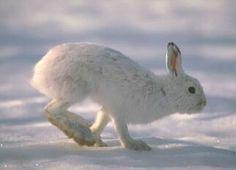 CANADIAN WILDLIFE : Snowshoe Hare (Lepus americanus)
