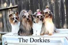 Picture my daughter took of my yorkies for a Mother's Day surprise! She is a fantastic pet photographer!