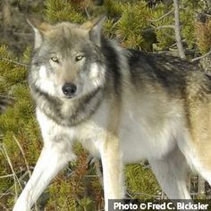 Help Stop A Killing Contest On National Forest Lands!
