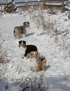 Australian Shepherds, I will have one before I die. Such amazing animals!