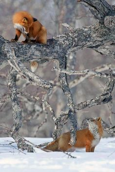 Funny Wildlife, funnywildlife: pair of Red fox,russia. Nature Animals, Animals And Pets, Cute Animals, Baby Animals, Wild Animals, Strange Animals, Amor Animal, Mundo Animal, Beautiful Creatures