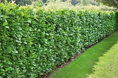 Prunus laurocerasus (English Laurel) is top evergreen privacy hedge. The hedge is large, fast-growing, drought tolerant & deer resistant. Privacy Hedges Fast Growing, Fast Growing Shrubs, Fast Growing Evergreens, Hedges For Privacy, Hedges Landscaping, Garden Hedges, Backyard Landscaping, Landscaping Ideas, Patio Ideas