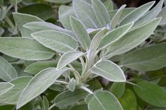 Sage: A Field Guide. Over the centuries sage has been used as a local anesthetic, to ward off evil spirits, and even boost fertility.