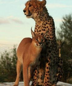 Caracal and Cheetah--Unusual Friendship Photos