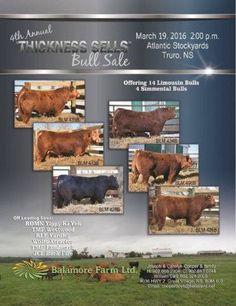 120 FANCY BRED HEIFERS - Grande Prairie, AB, Canada - Beef Cattle classified ad | Livestock.com