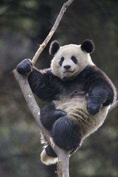 Panda bear just chilling in the fork of a tree.