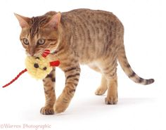 Bengal cat with toy mouse - Find out more what Cat Toys is for your cats at catsincare.com!