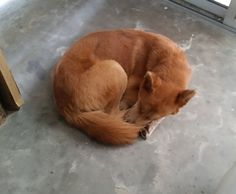 Post with 331 views. My new husky mix looks like the Firefox logo when he sleeps. Firefox Logo, Husky Mix, Corgi, Cute Animals, Sleep, Puppies, Cool Stuff, Pets, Logos