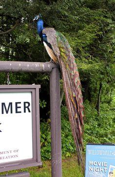 Peacock Fujifilm x100