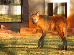 Maned wolf (crisocione)