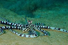 Mimic Octopus by PacificKlaus, via Flickr