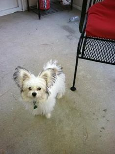 Maltese Papillon Mix