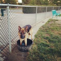 Having a ruff time with the water tub at Bruno Canziani Dog Park - Livermore, CA - Angus Off-Leash #dogs #puppies #cutedogs #bigdogs #shepherd #germanshepherd #dogparks #angusoffleash #livermore #california