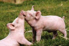 Pet Pigs, Baby Pigs, Farm Animals, Animals And Pets, Cute Animals, Vegan Animals, Raza Yorkshire, Photo Animaliere, Mini Pigs