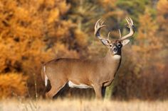 White-tail Deer is Every Hunters Dream Especially this Monster Buck! Whitetail Deer Pictures, Whitetail Deer Hunting, Deer Hunting Tips, Deer Photos, Big Game Hunting, Whitetail Bucks, Deer Pics, Hunting Trips, Animals Beautiful