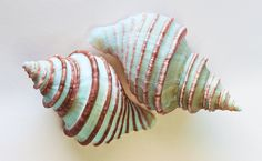 Simply BEAUTIFUL! Teal and brown shell...such delicate curls....