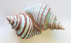Sea Shells ~ Simply BEAUTIFUL!