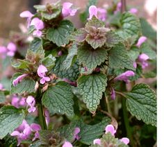 Recipes Utilizing Red Deadnettle: Fried Herbed Deadnettle, Springtime Fritters,  Deadnettle and Chilli Soup,  Deadnettle Beer,  Plain Omelette with Onion and Deadnettle,  Early Spring Salad,  Deadnettle Greens,  A Messe of Greens,  Bacon and Deadnettle Strata,  Deadnettle Purée (a soup),  Fried Dead-nettle Greens  Hogweed in Rolled Chapati,  Goosegrass Soup