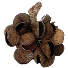 Pangi Shell Shaker, or Seed Pod Shaker - this is a beautiful shaker made from the dried seed pods of the Pangi Fruit. A 'Must Have' for every elementary music class! SHAK14