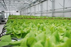 Plants grown in hydroponic environments use no soil at all to reach maturity, and only require a water-permeable material like Perlite to stay stable above a bed of oxygenated and nutrient-rich water. Hydroponic Systems, Hydroponics, Cure For Sleep Apnea, Hydroponic Growing, Garden Pool, Environment, Canning, Plants, Maturity