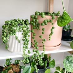 String Of Pearls Senecio Rowleyanus Water Plants, Potted Plants, Garden Plants, Indoor Plants, Hoya Plants, Leafy Plants, Cactus Plants, House Plants Decor, Plant Decor