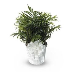 Feathery Palm Plant is just one of the many funeral floral arrangements available on Frazer Consultants' Tribute Store, an online flower store available on all Frazer-powered funeral home websites. Green Funeral, Home Websites, Funeral Floral Arrangements, Philadelphia Eagles Fans, Palm Plant, Website Features, Funeral Flowers, Local Florist, Mother Nature