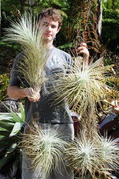 Tillandsias for fanciers - Bromeliad Forum - GardenWeb
