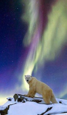 Awesome Polar Bear Enjoying The Northern Lights! Awesome Polar Bear Enjoying The Northern Lights! Arctic Animals, Animals And Pets, Baby Animals, Cute Animals, Bear Pictures, Animal Pictures, Beautiful Creatures, Animals Beautiful, Polar Bear Tattoo