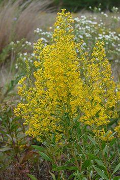 Showy Goldenrod (Solidago speciosa)