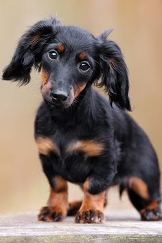 The Diverse Dachshund Breed - Champion Dogs Black Dachshund, Dachshund Breed, Funny Dachshund, Dachshund Gifts, Best Apartment Dogs, Shelter, Clever Dog, Terrier, Best Dog Photos
