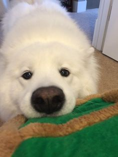 Skookum the Samoyed Animals And Pets, Baby Animals, Funny Animals, Cute Animals, Funny Cats, Cute Puppies, Cute Dogs, Dogs And Puppies, Doggies