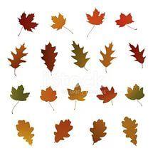 Дуб и клен осенние листья., oak maple autumn.