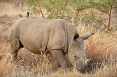 Plane donation helps to fight rhino poaching in Kruger Park - http://www.environment.co.za/wildlife-endangered-species/plane-donation-helps-to-fight-rhino-poaching-in-kruger-park.html