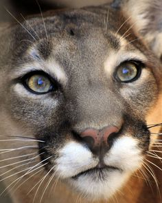Did you know that a Puma, a Mountain Lion, a Cougar and a Panther (not to be confused with Black Panthers of Asia, Africa and Latin America) are all the same animal? The latin name for the smallest of the big cats is Puma concolor.