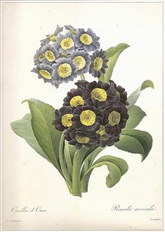 REDOUTE 1990 Vintage Art Print Botanical Original Book Plate 122 Beautiful Large Purple Violet Yellow Auriculas Primula Antique Writing