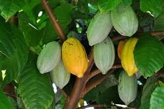 Image result for growing cocoa