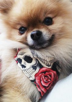 Pomeranian named, Fudge and his skull attire <3 looks like my sweet Paris <3