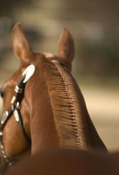 A perfectly banded mane will have even-width bands that lay flat on the mane. Ideally, as well, the bands will be the same color as the man (definitely not drawing attention). Horse Mane Braids, Horse Hair Braiding, Havanese Grooming, Havanese Dogs, Horse Grooming, Palomino, Western Pleasure Horses, Tail Braids, Horse Tail