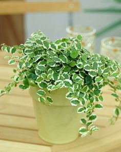 Ficus Pumila Varigated Creeping Fig