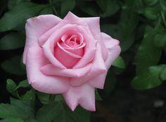Belinda's Dream Rose Bush - Pink Low Maintenance Shrub Rose Plant Own Root Pot Beautiful Rose Flowers, Love Flowers, Flowers Pics, Yellow Flowers, Rose Reference, Rose Care, Shrub Roses, Hybrid Tea Roses, Planting Roses