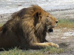 a male lion in Ngoro