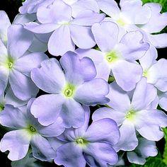 Verbena 'Obsession® Lavender'